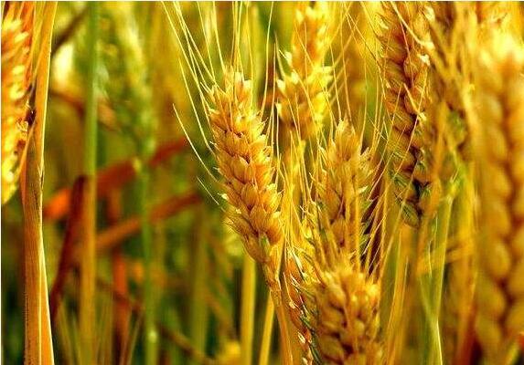 小麦 | 大点兵、爱慕、全哺小麦病虫害解决方案