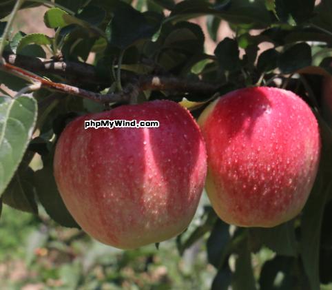 卖完苹果,切记给苹果贴秋膘