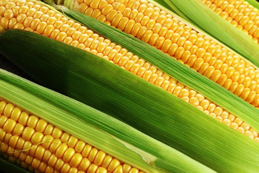 回访记|农心玉米故事河南站之叁——促天花,霸王根,抗倒伏